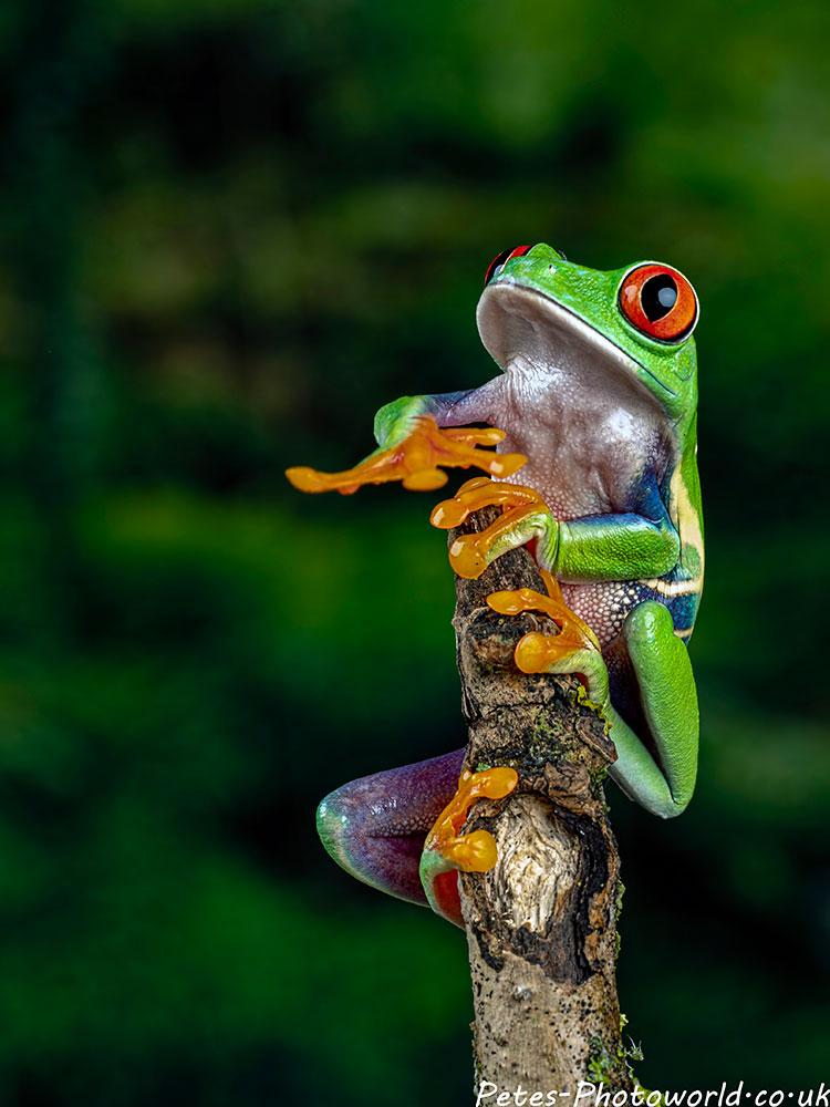 Red-eyed treefrog III