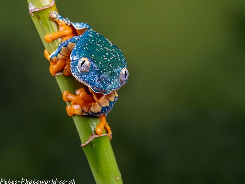 Fringed tree frog II