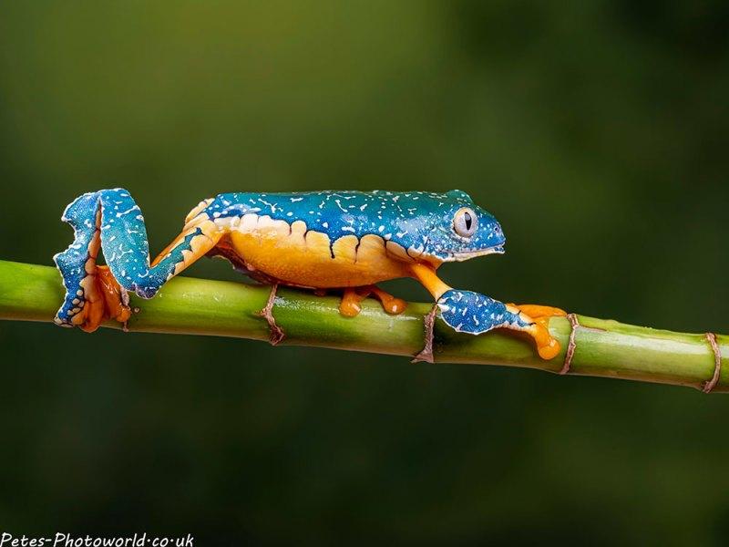 Fringed tree frog III
