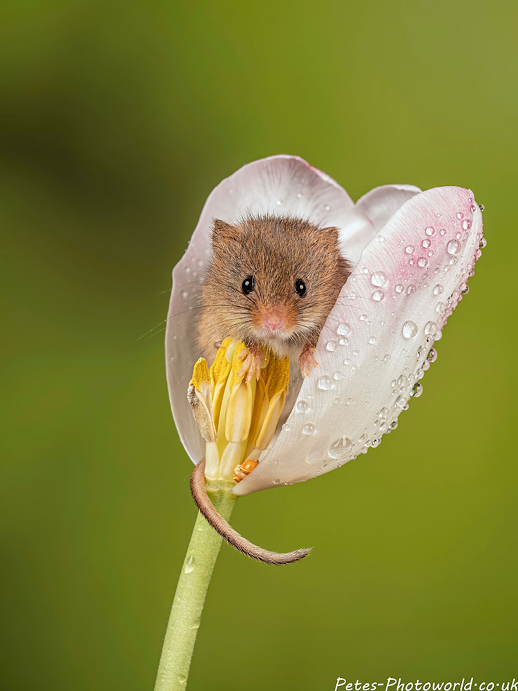 Harvest mouse in a white tulip