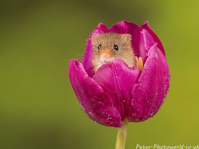 Harvest mouse in a purple tulip