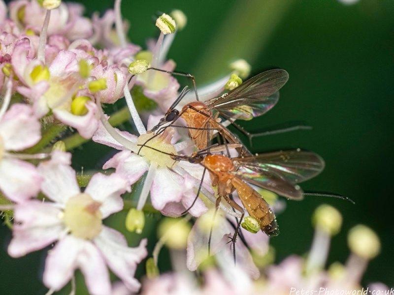 Cranefly?