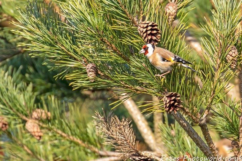 A Goldfinch