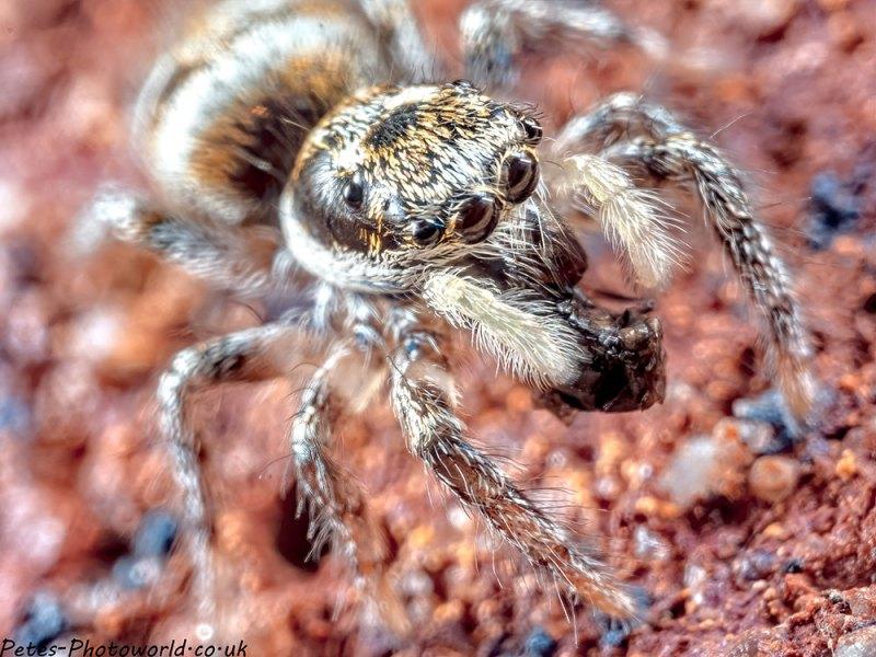 Jumping Spider IV