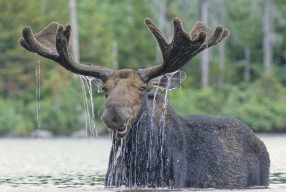 Moose-1a-1673-xl.jpg