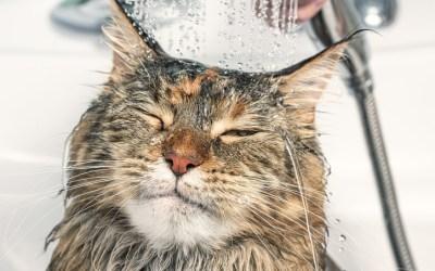 Seu gato pode tomar banho sim!