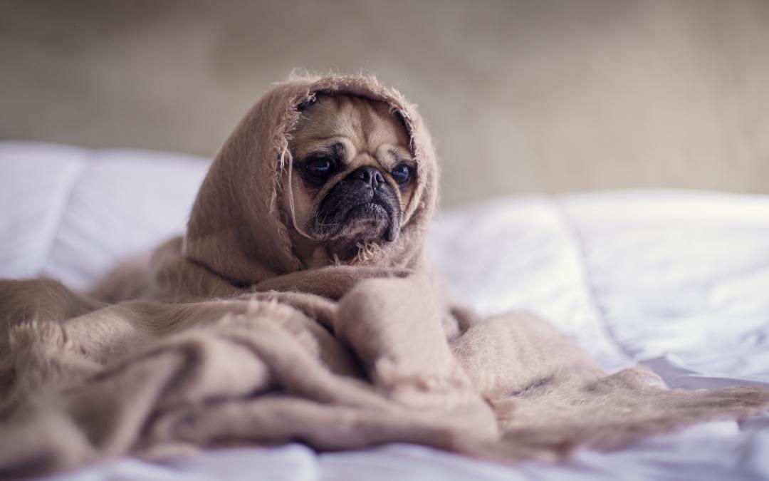 Como saber se o seu cachorro está com frio?