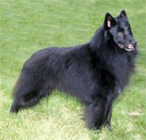 Belgian Sheepdog Dog Breed