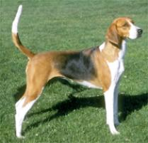 American Foxhound Dog Breed