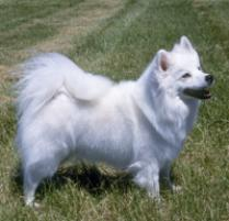 American Eskimo Dog (Standard) Dog Breed