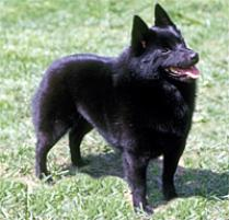 Schipperke Dog Breed