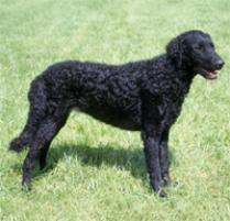 Curly-Coated Retriever Dog Breed