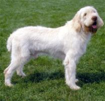 Spinone Italiano Dog Breed