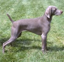 Weimaraner Dog Breed