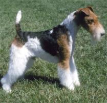 Wire Fox Terrier Dog Breed