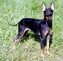 Manchester Terrier (Toy) Dog Breed