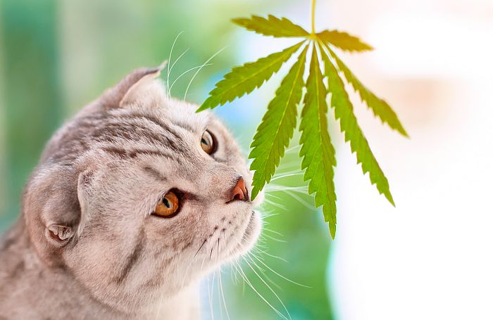 CBD pet supplements may affect dogs and cats differently | PetfoodIndustry.com