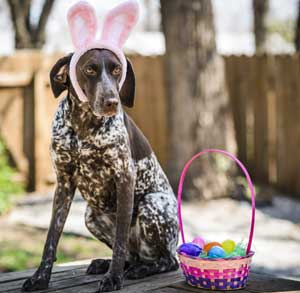 Picture of dog wearing bunny ears