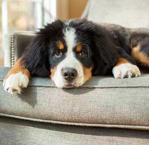 Picture of a puppy on a grey sofa