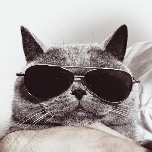 Picture of a cat wearing dark glasses