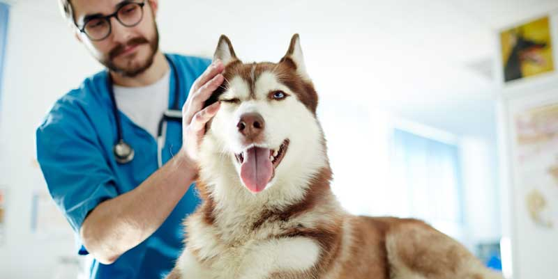 Picture of a husky at the vet
