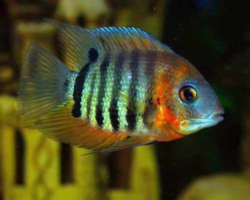 Picture of a Heros severus in an aquarium