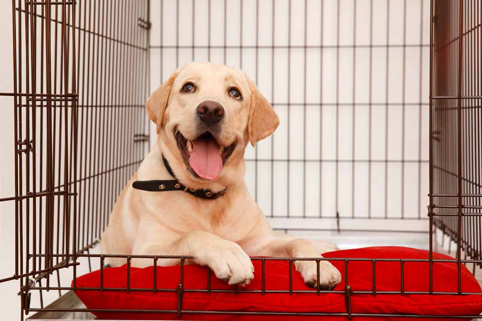 Picture of a Labrador in a crate
