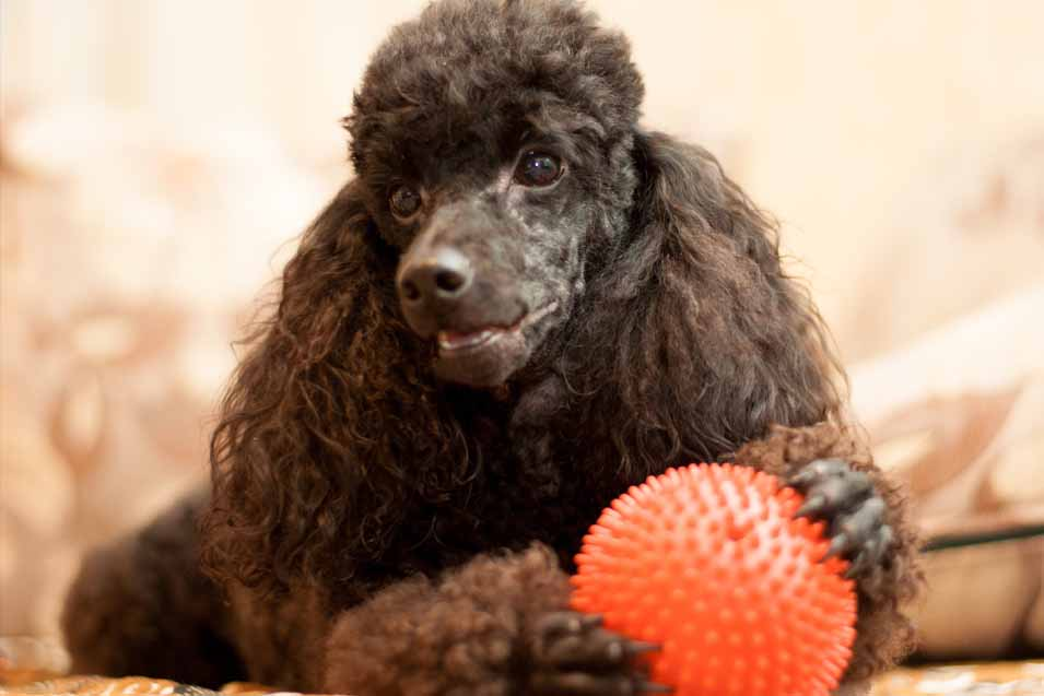 Picture of a Brown Poodle