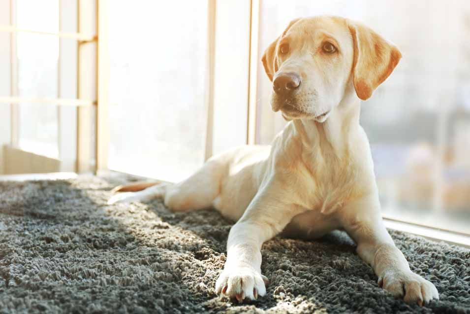 Picture of Labrador Retriever on the rug