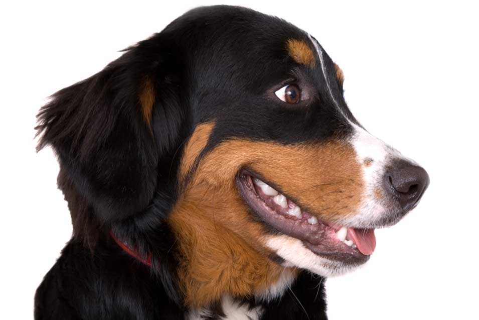 Picture of Bernese Mountain Dog
