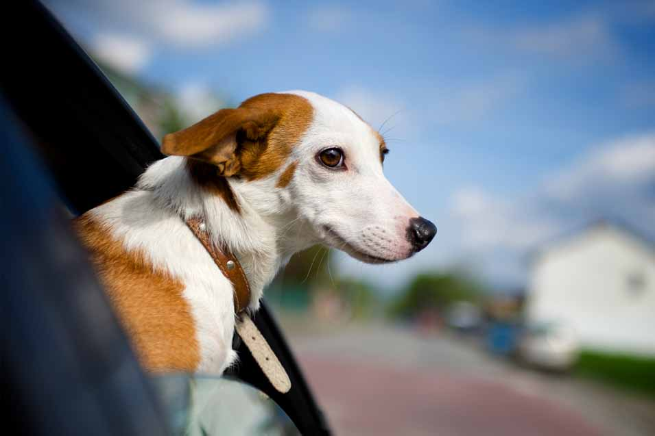 Picture of dog in a car