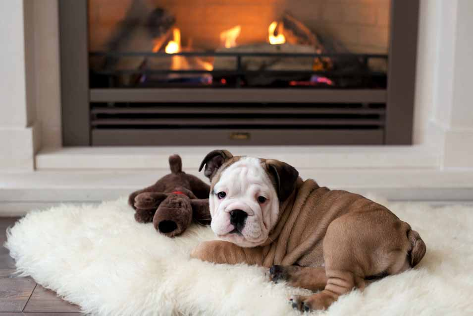 Picture of of a bulldog puppy in the living room