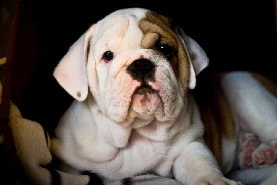 Picture of bulldog puppy