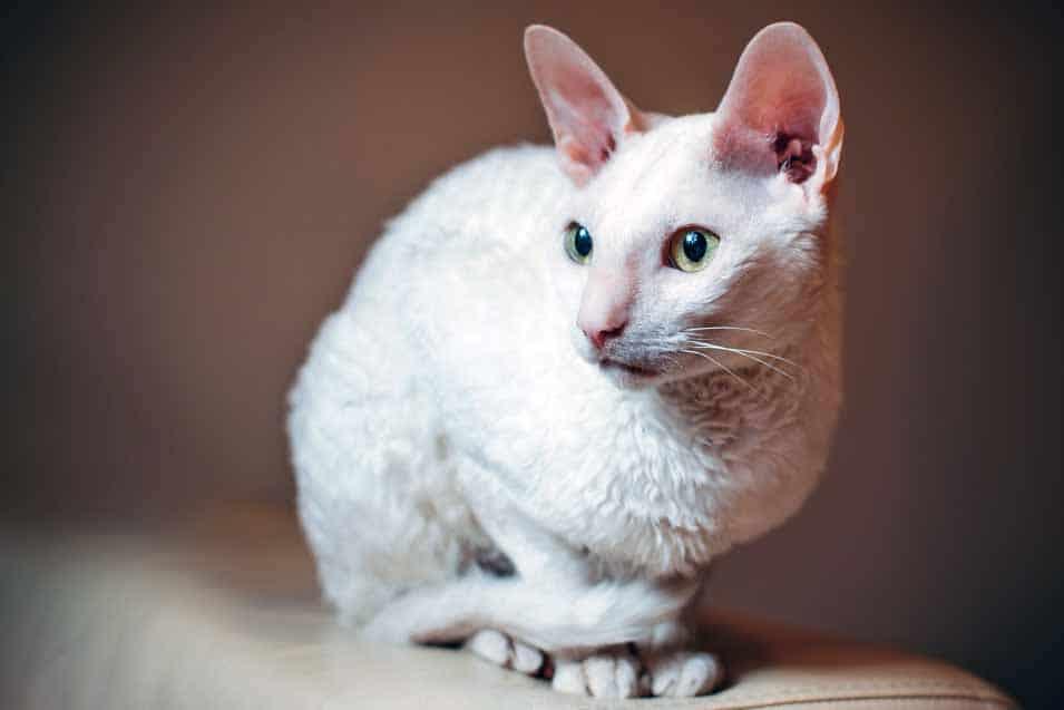 Picture of a Cornish Rex Cat