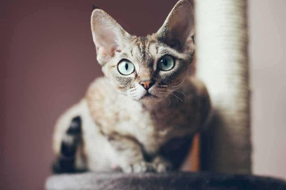 Picture of a Devon Rex Cat