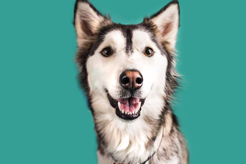 Picture of a husky