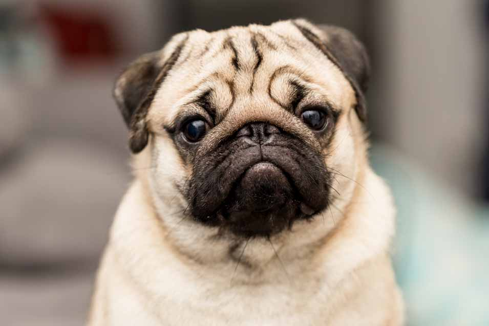 Picture of a young pug