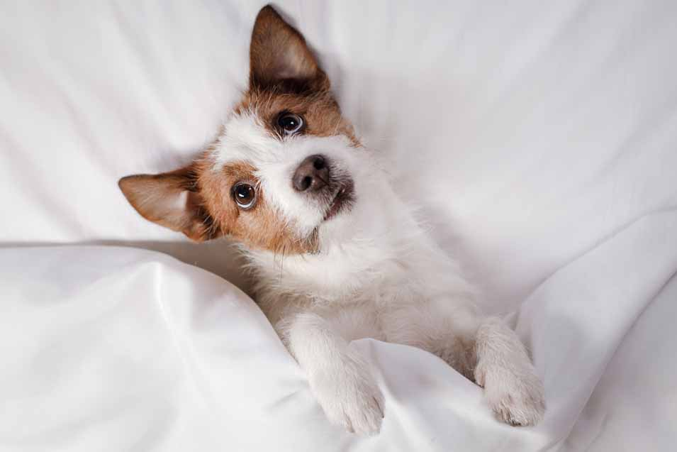 Picture of Jack Russell in bed
