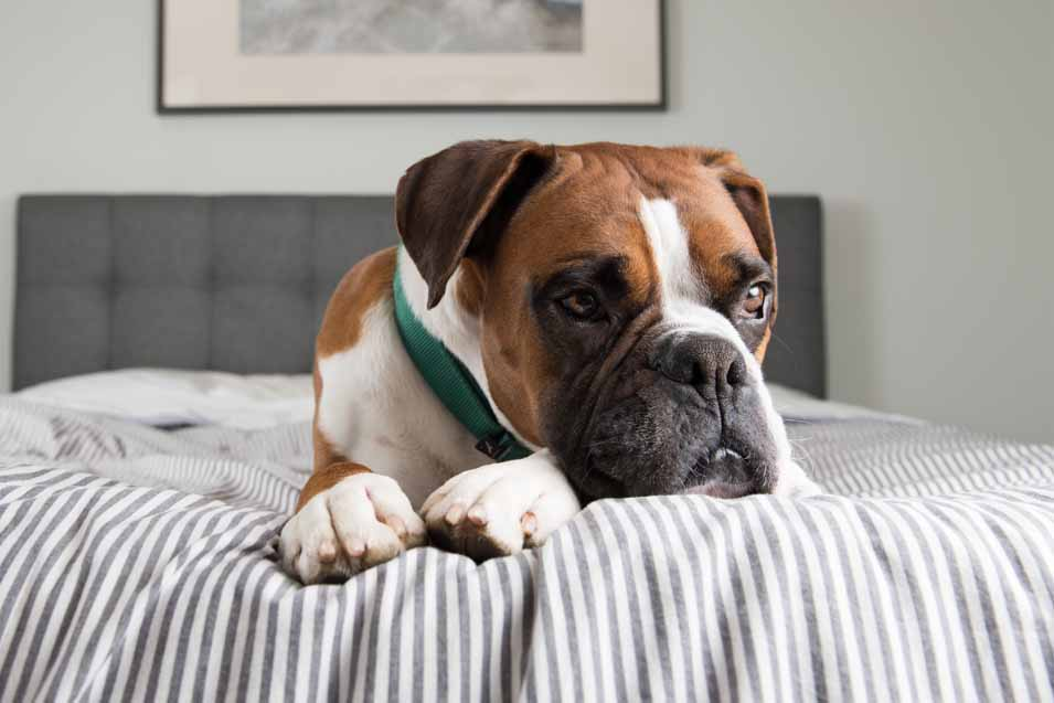 Picture of a Boxer on a bed