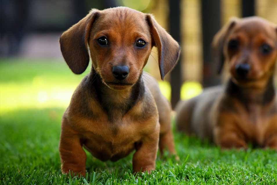 Picture of two dachshunds