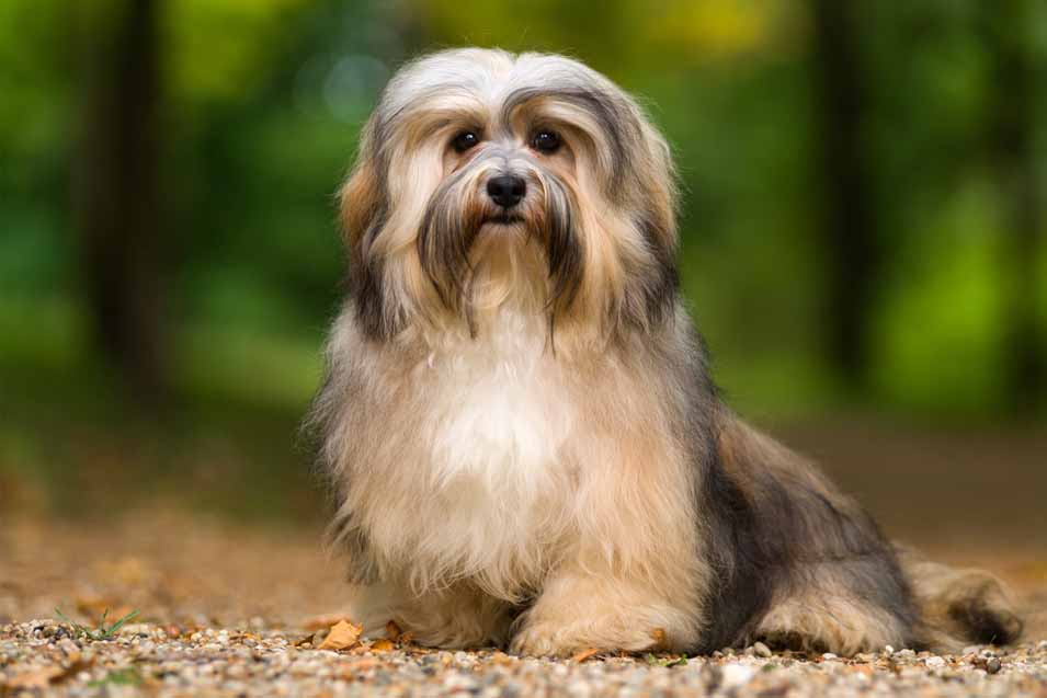 Picture of a Havanese
