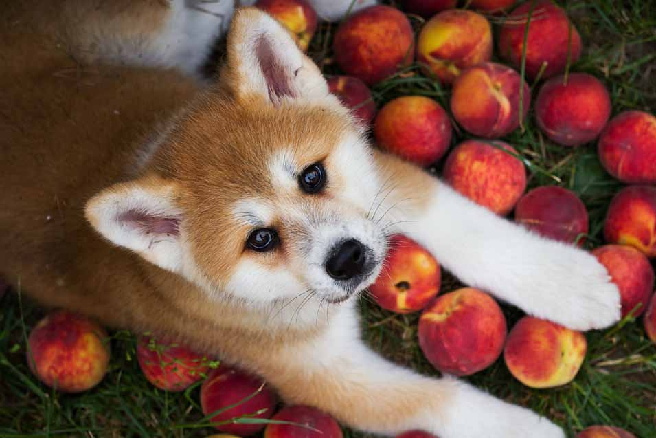 Picture of a puppy with peaches