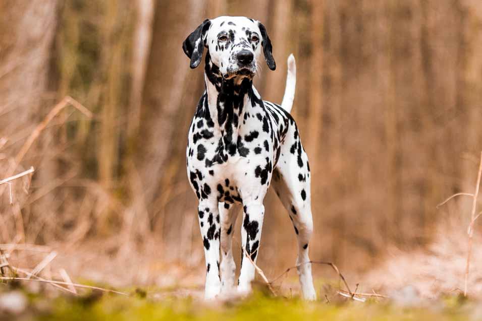 Picture of a Dalmatian
