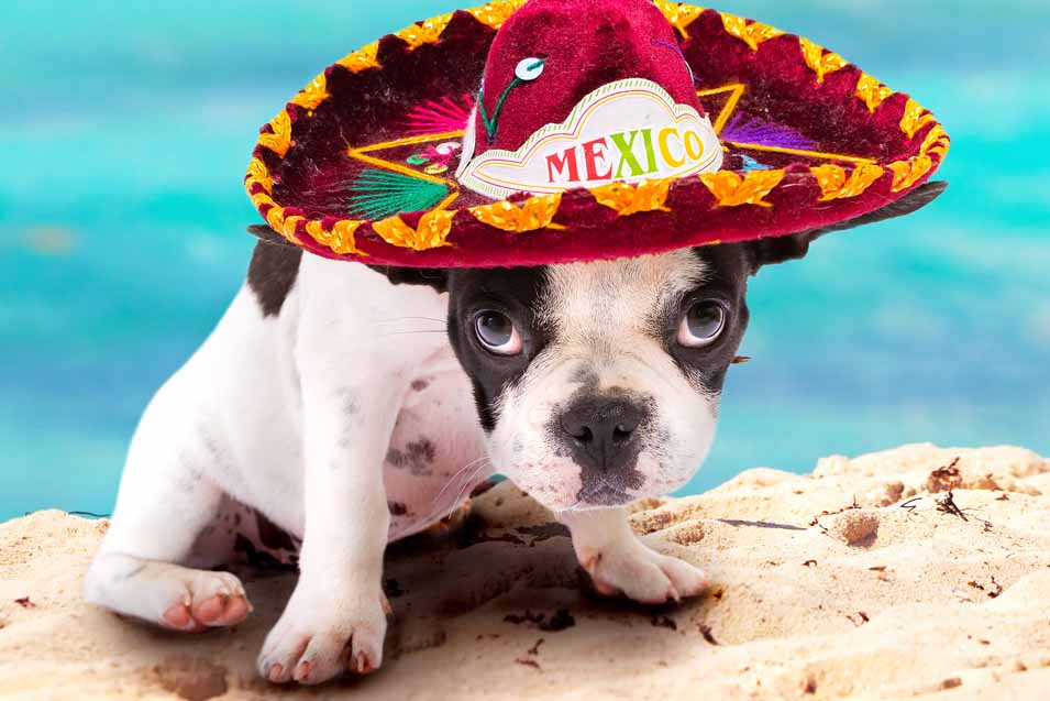 Picture of a dog wearing a sombrero