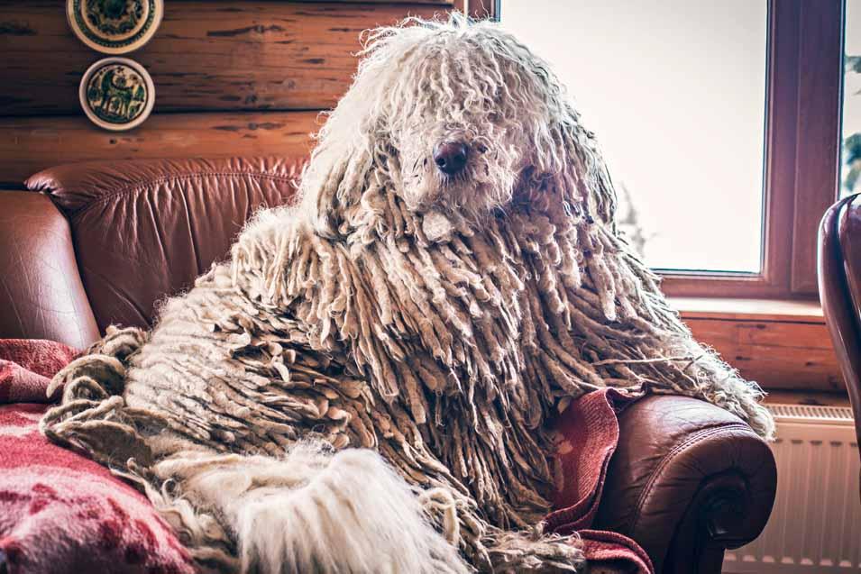 Komondor sitting on a leather sofa