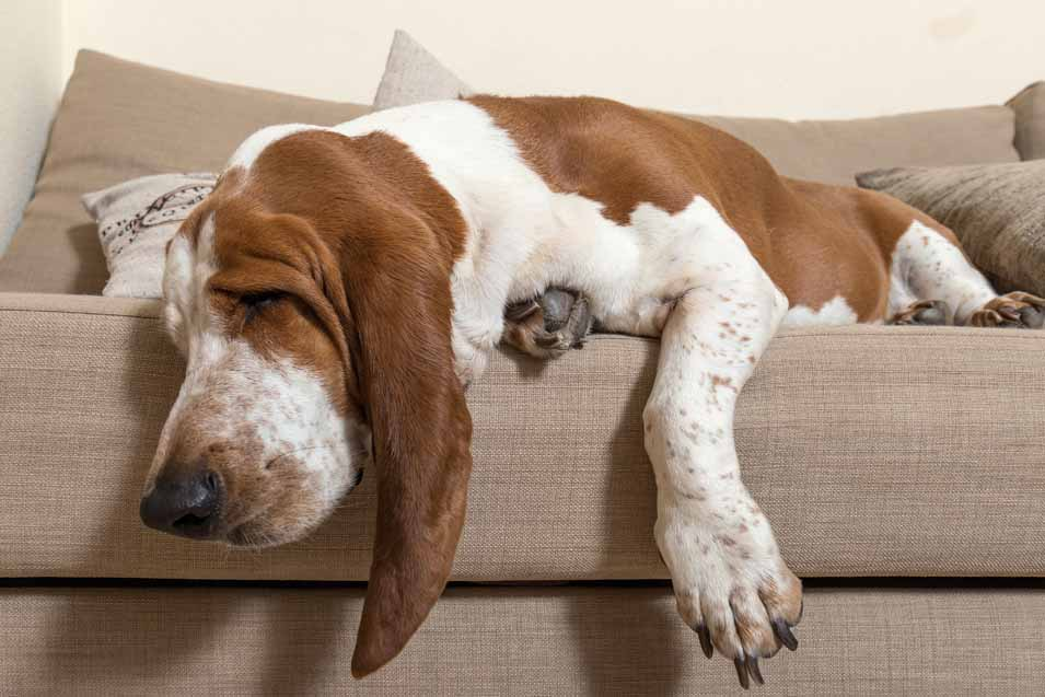 Picture of a Basset Hound