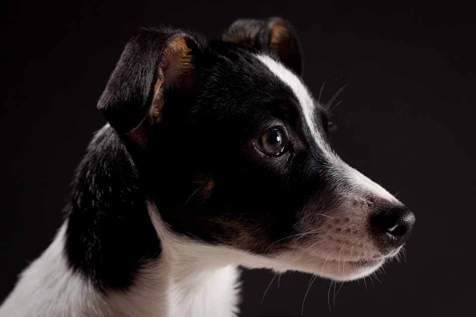 Picture of a dog on black background