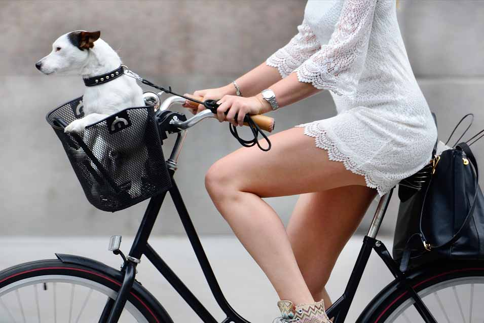 Picture in dog in the basket of a bike
