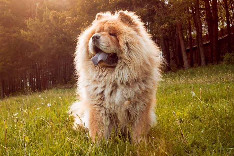 Picture of a Chow in the field
