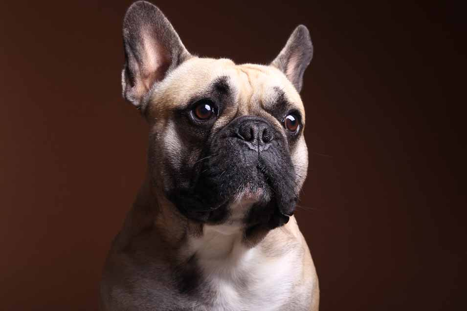 Picture of a french bulldog